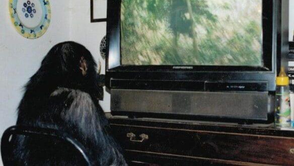 Oliver guarda con attenzione un documentario di jane goodall relativo agli scimpanzè in natura