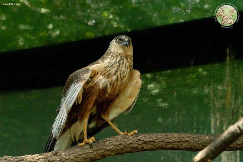 Un falco di palude durante la riabilitazione in voliera