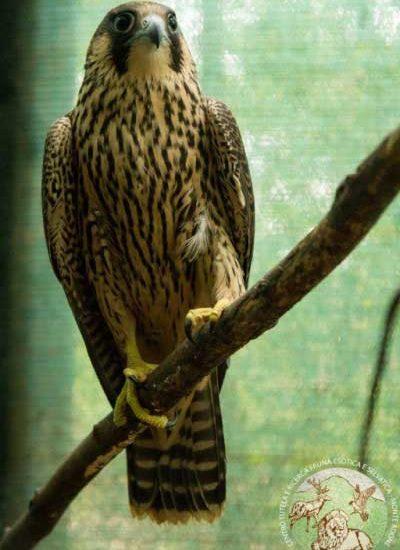 Un falco pellegrino durante la riabilitazione in voliera ingrandita