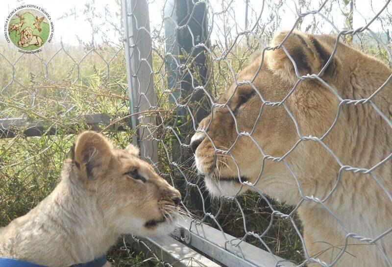 Leo incontra la leonessa Sissi per la prima volta