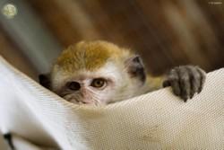 piccolo primate